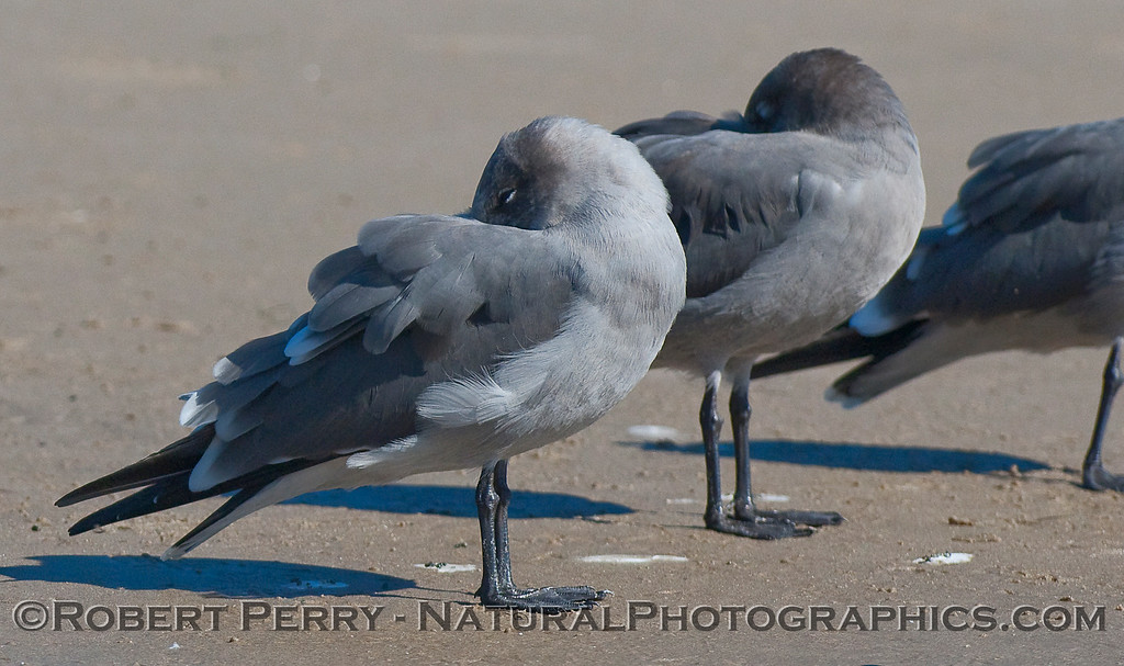 Sleeping Heerman's Gulls (Larus heermanni).