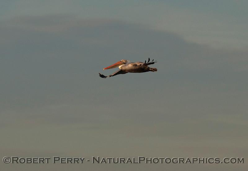 Brown Pelican (Pelecanus occidentalis).