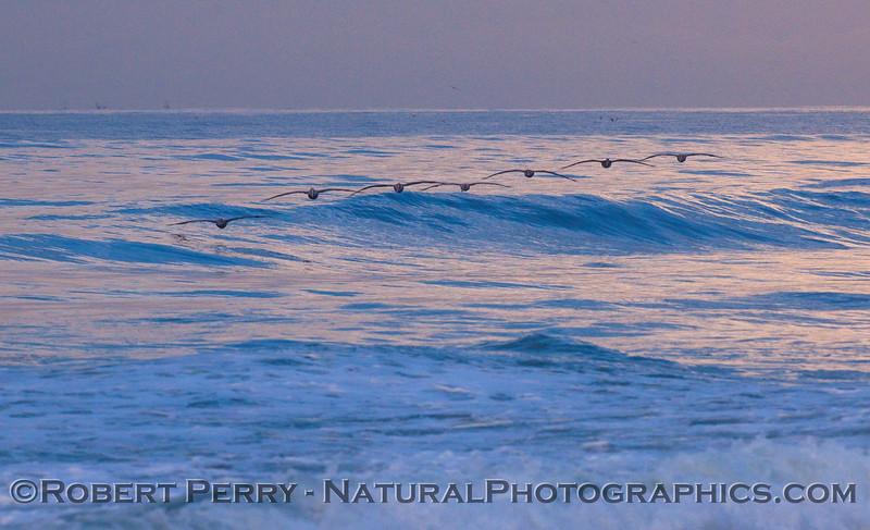 A flock of seven Pelecanus occidentalis riding a wave at dawn.