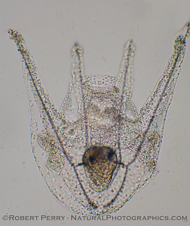 A pluteus, 4-arm stage, perhaps Stongylocentrotus purpuratus.