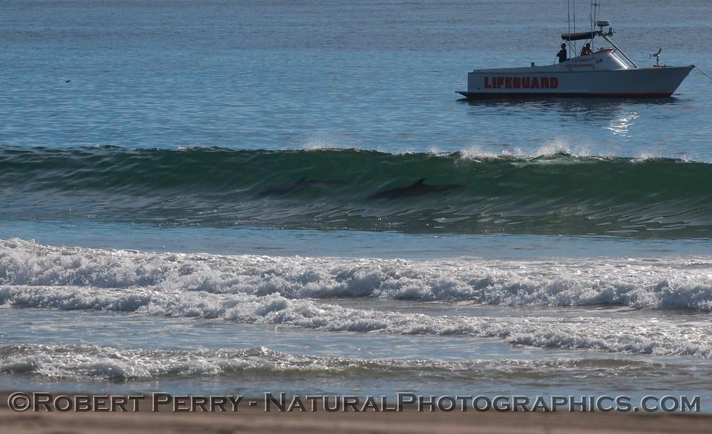 Surfing Bottlenose Dolphins (Tursiops truncatus).