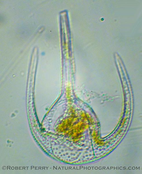 Ceratium azoricum.