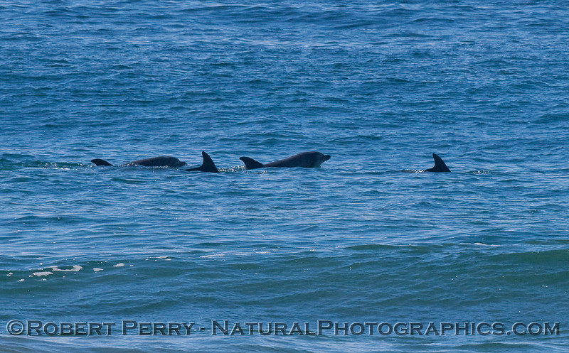 Image 1 of 2 showing Bottlenose Dolphins (Tursiops truncatus) lifting their heads out of the water.
