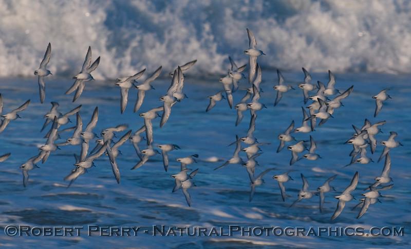 A flock of Sanderlings (Calidris alba) showing their white, ventral side.