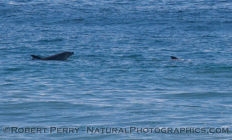 Image 2 of 2 showing a Bottlenose Dolphin (Tursiops truncatus) lifting its head out of the water.