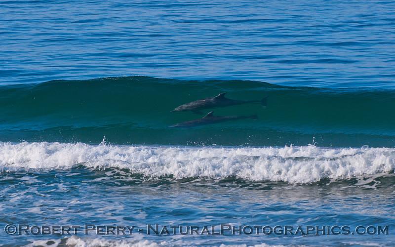 Image 2 of 4:  Tursiops truncatus surfing.