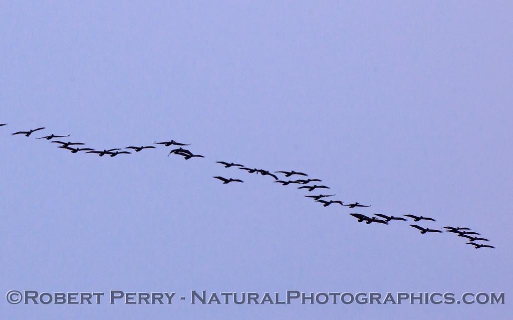 A wide line of Brown Pelicans (Pelecanus occidentalis).