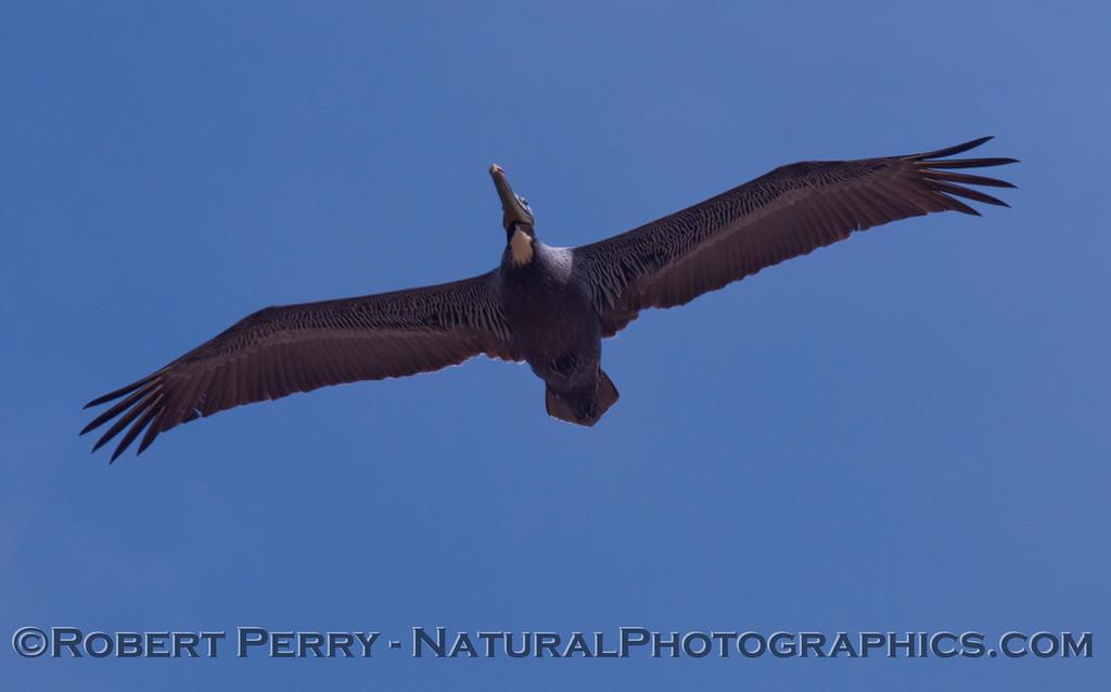 A Brown Pelican (Pelecanus occidentalis) soars overhead.