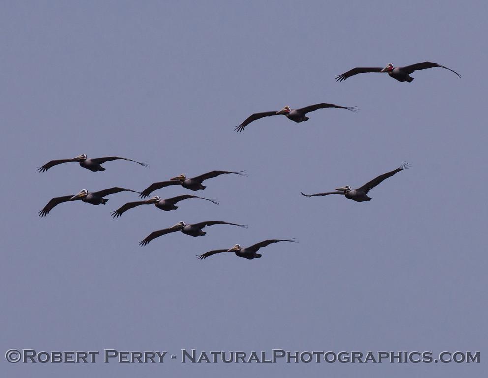 A closer look at a squadron of Brown Pelicans (Pelecanus occidentalis).