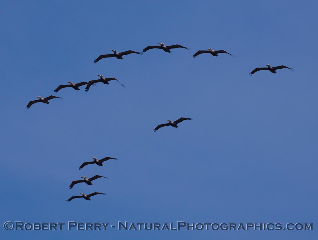 More Brown Pelicans (Pelecanus occidentalis) directly above.