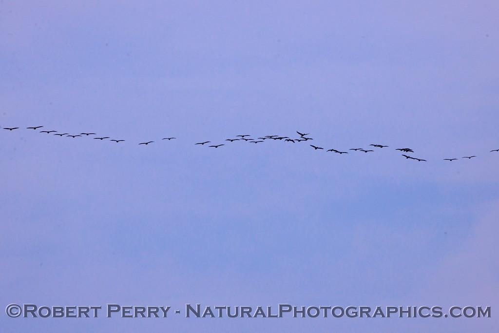 Another wide horizontal line of Brown Pelicans (Pelecanus occidentalis).