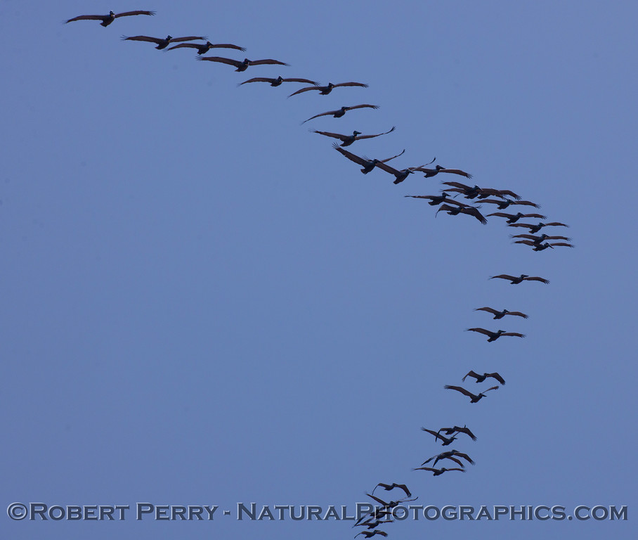 "A massive ""V"" shaped flock of Brown Pelicans (Pelecanus occidentalis)."