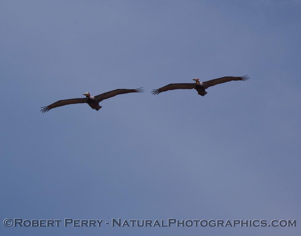 Dual Brown Pelicans (Pelecanus occidentalis)...a bit distant.