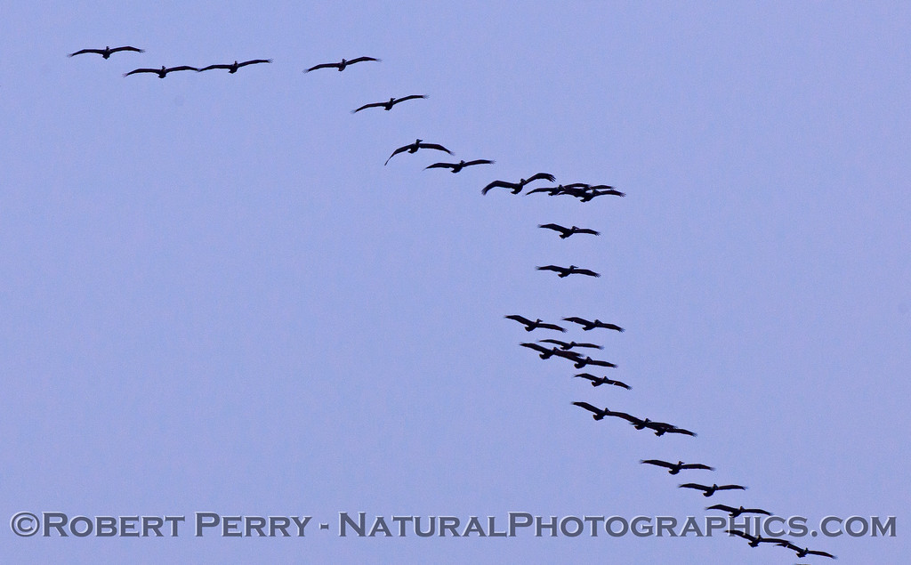 Brown Pelicans (Pelecanus occidentalis) across the top and trailing down the right side.
