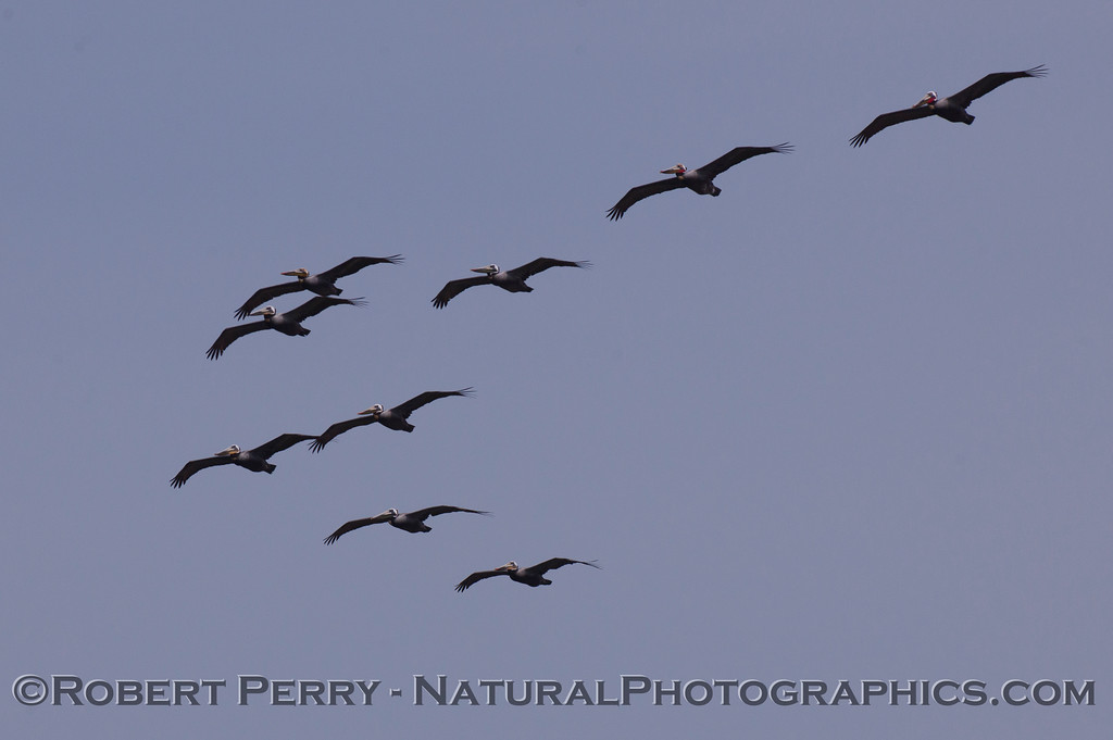 """The leading squadron in a classic """"V"""" formation of Brown Pelicans (Pelecanus occidentalis)."""