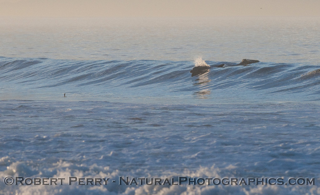 A Brandt's Cormorant (Phalocrocorax penicillatus) is in the water in front of the wave.