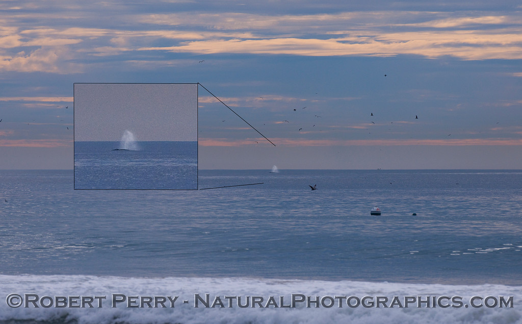 1st Gray Whale (Eschrichtius robustus) of the 2011 season...southbound, about a mile off the beach.