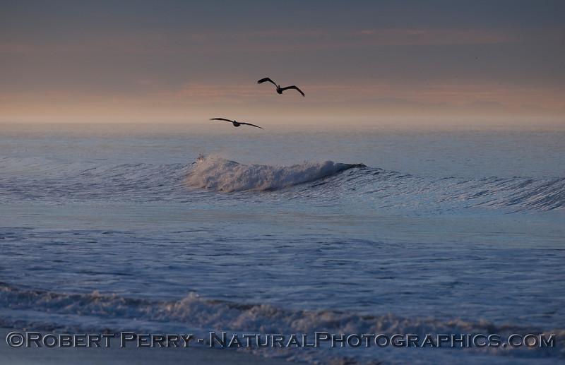 Brown Pelicans (Pelecanus occidentalis) at dawn.