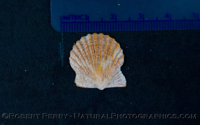 Argopecten ventricosus 2011 09-22 Zuma - 008