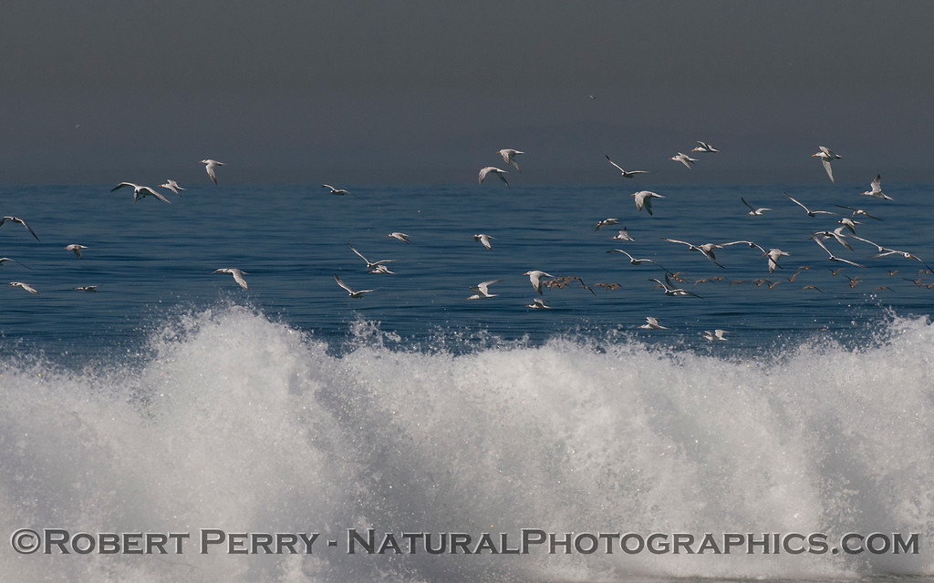 Elegant Terns (<em>Sterna elegans</em>) in flight above the waves.