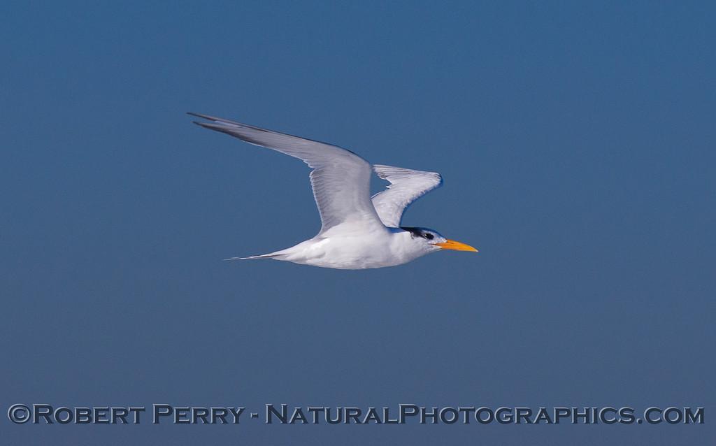 Elegant Tern in flight (<em>Sterna elegans</em>).