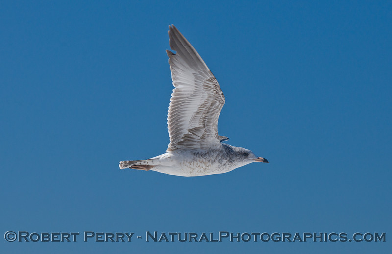 A juvenile gull (<em>Larus sp.</em>).