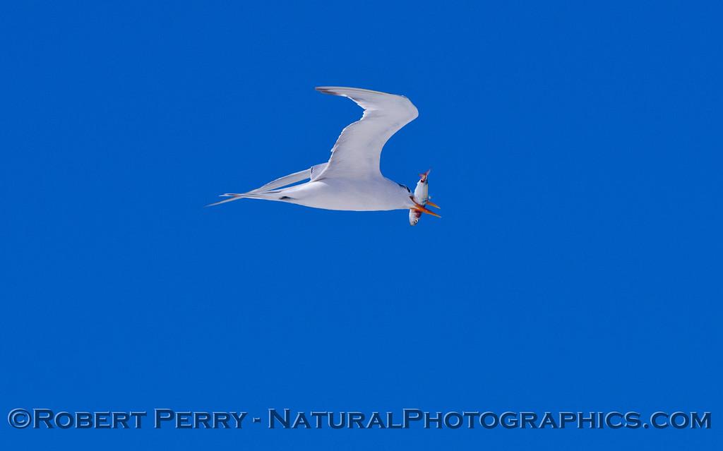 An Elegant Tern (<em>Sterna elegans</em>) in flight with a Northern Anchovy (<em>Engraulis mordax</em>) in its mouth.