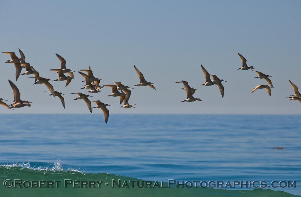 A large flock of Marbled Godwits (<em>Limosa fedoa</em>).