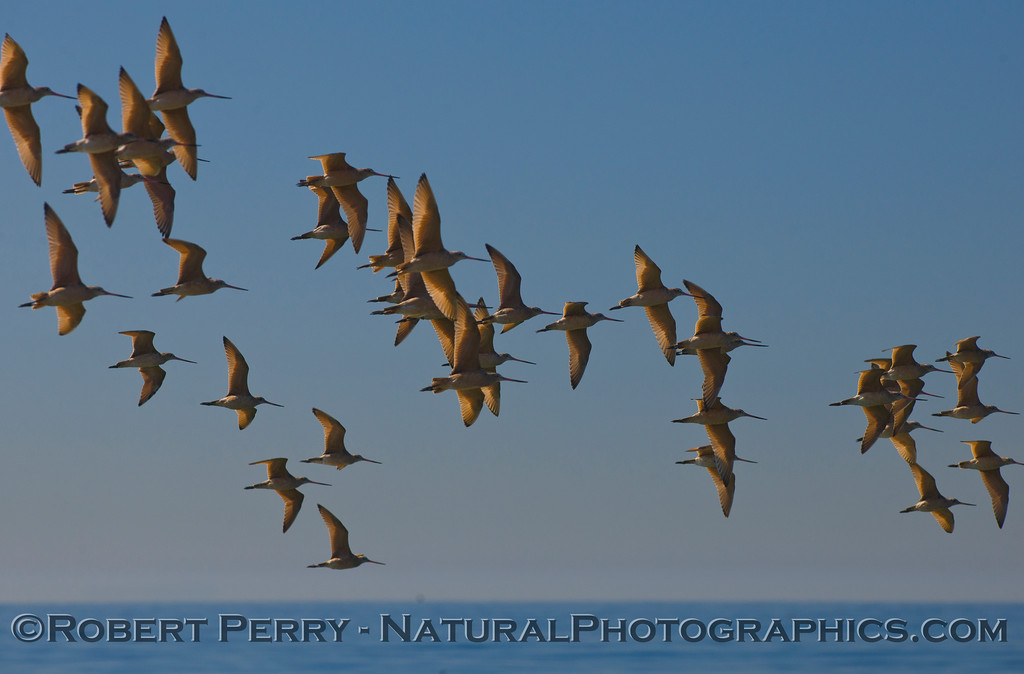 A large flock of Marbled Godwits (<em>Limosa fedoa</em>) catch the morning sunlight.