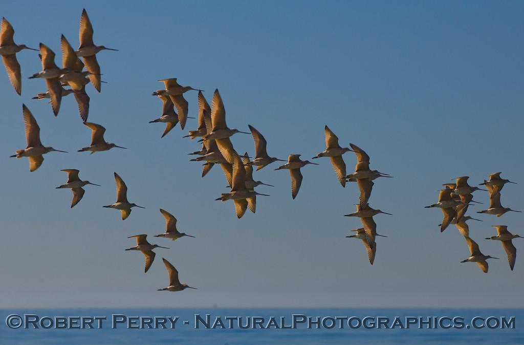 A large flock of Marbled Godwits (<em>Limosa fedoa</em>) catch the morning sunlight.