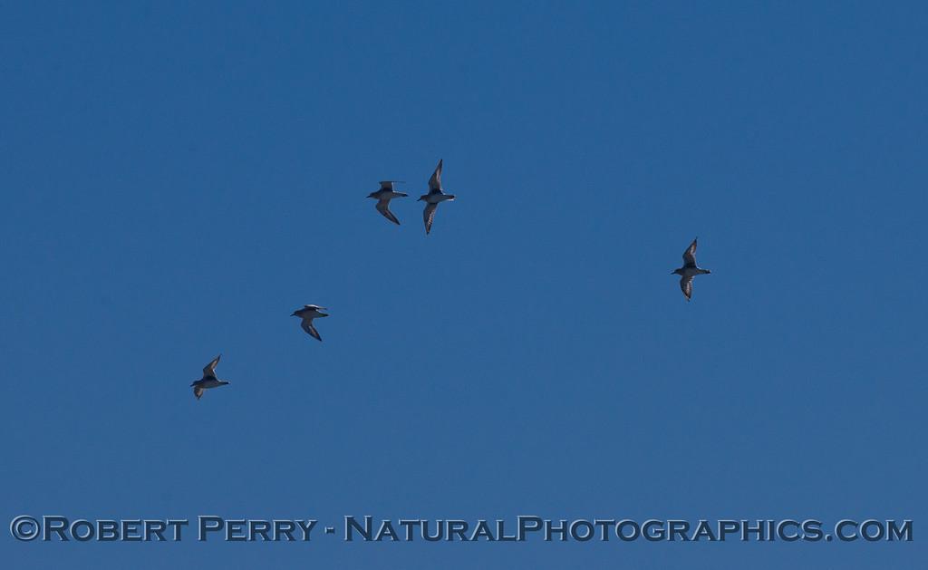 Sanderlings (<em>Calidris alba</em>) in flight.