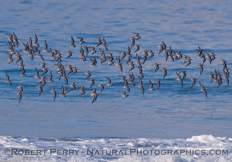 A flock of Sanderlings (<em>Calidris alba</em>).