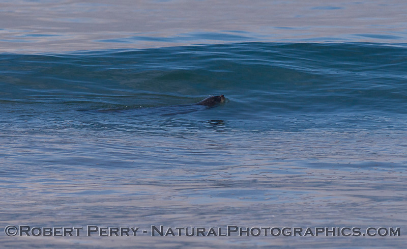 A Harbor Seal (<em>Phoca vitulina</em>) patrols the surf zone.
