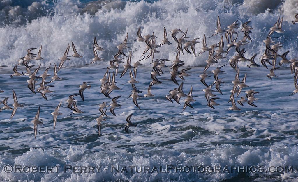 Sanderling flock in flight. <em>Calidris alba</em> flock 2011 12-01 -Zuma - 001