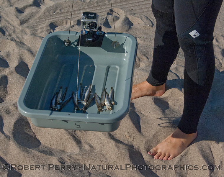 GoPro baited camera apparatus - close view.  12 Northern Anchovies <em>Engraulis mordax</em> were secured to the base of a plastic specimen tub.  A 3-point stainless cable bridle and a GoPro camera are also shown.  The device was set out in 10m (33ft) depth for 3 hours, and photos were taken automatically every 5 seconds.  The images/data will be analyzed after the holidays.