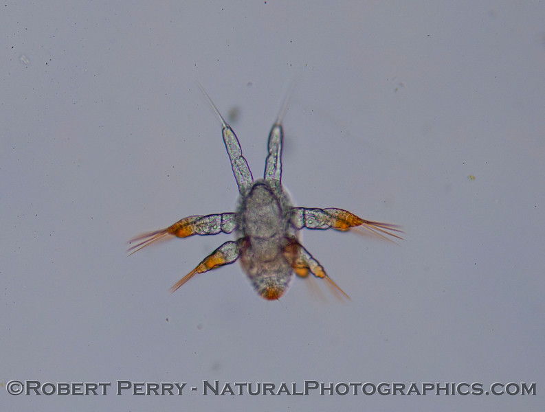 A nauplius, probably of a Copepod.