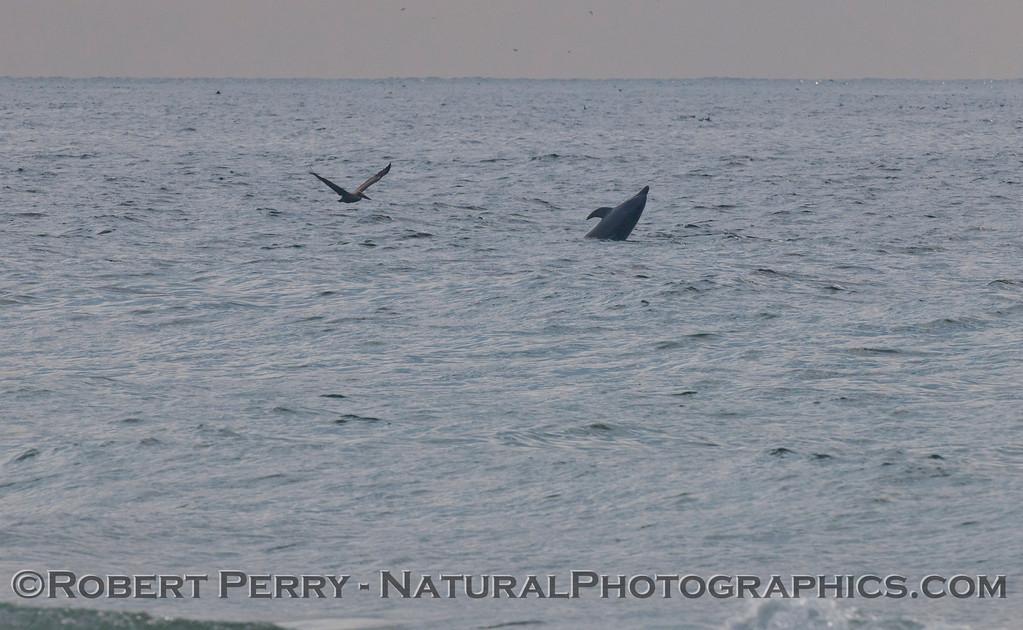 A Bottlenose Dolphin (<em>Tursiops truncatus</em>) cavorts.
