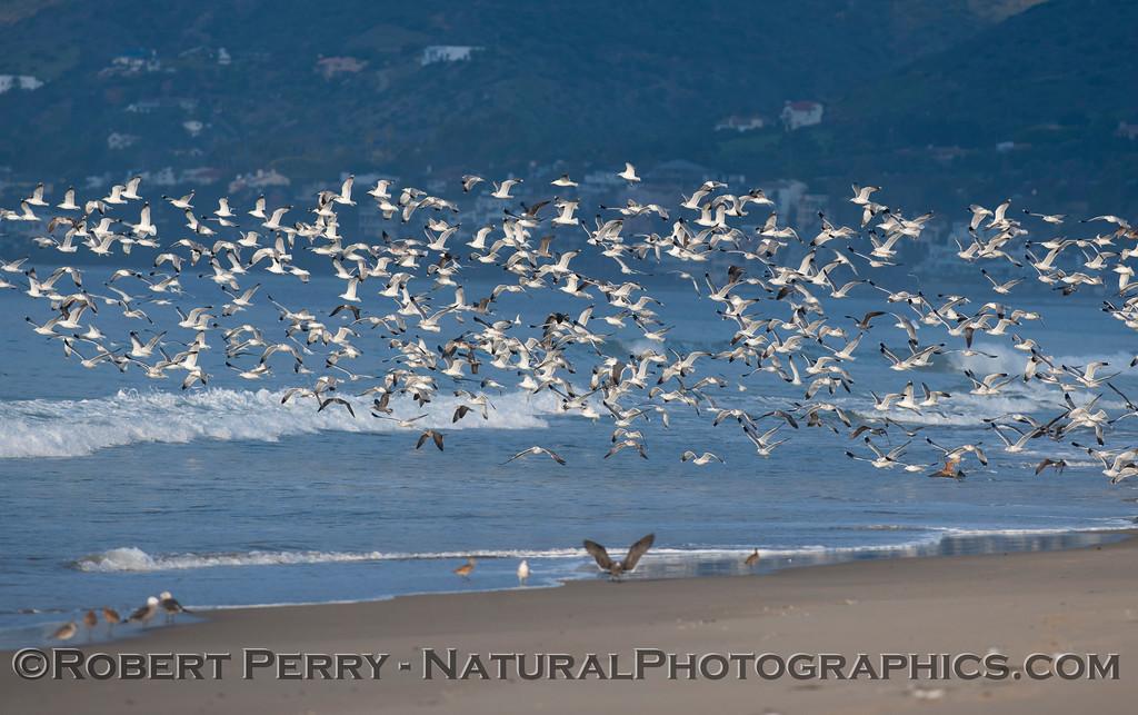 Gulls (<em>Larus</em> sp.).