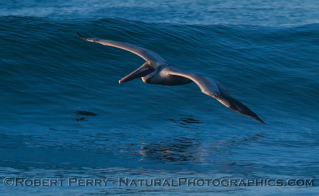 Brown Pelican (<em>Pelecanus occidentalis</em>) and wave.