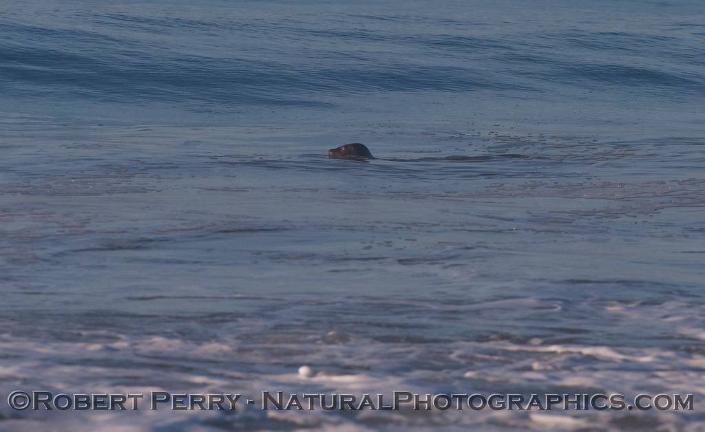 Harbor Seal (<em>Phoca vitulina</em>).