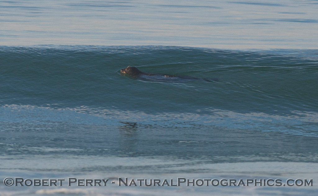 A friendly Harbor Seal (<em>Phoca vitulina</em>) is seen swimming in a wave.