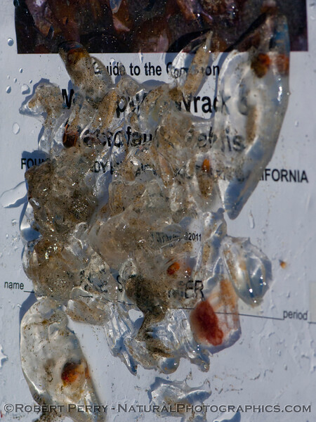 A mixture of salps, the larger <em>Salpa fusiformis</em> with red gut sacs, and the smaller, clear <em>Iasis zonaria</em>.
