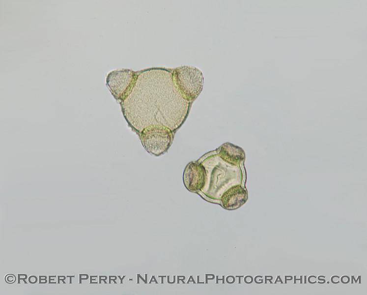 Two specimens of the somewhat rare diatom, <em>Planktoniella blanda</em>.   x400