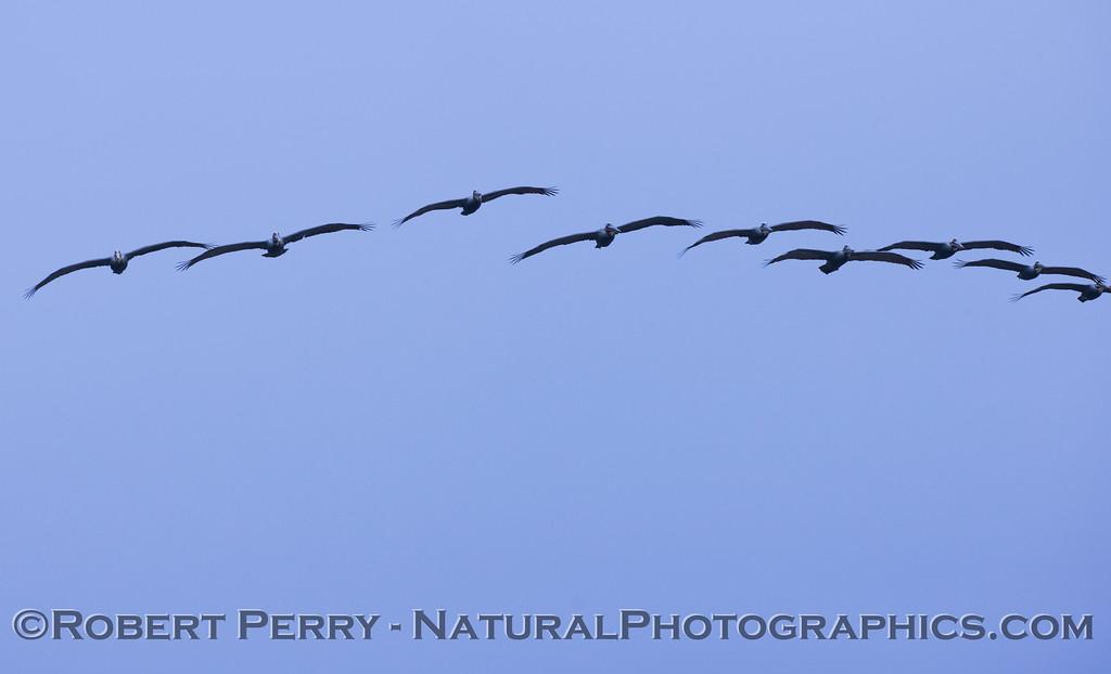 A squadron of brown pelicans (<em>Pelecanus occidentalis</em>) passes over head.