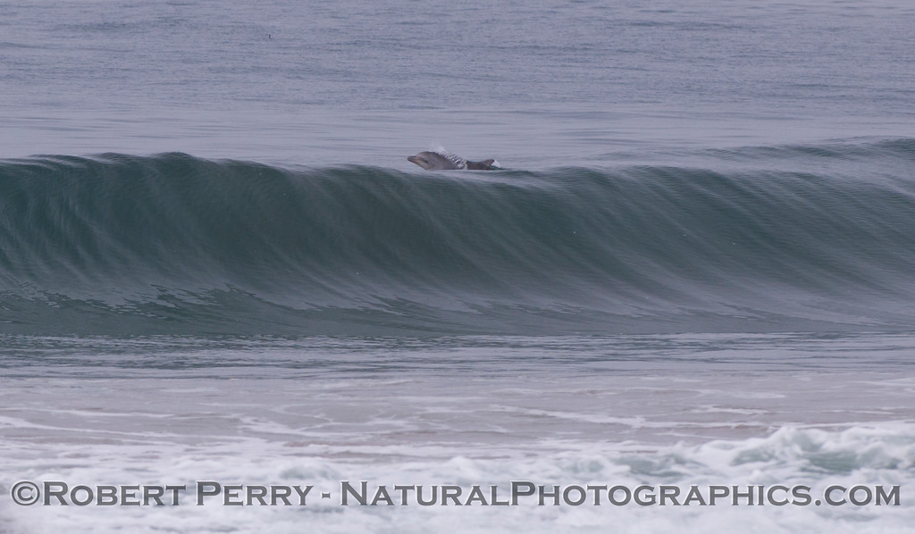 Another bottlenose dolphin (<em>Tursiops truncatus</em>) has just jumped out the back of a wave.