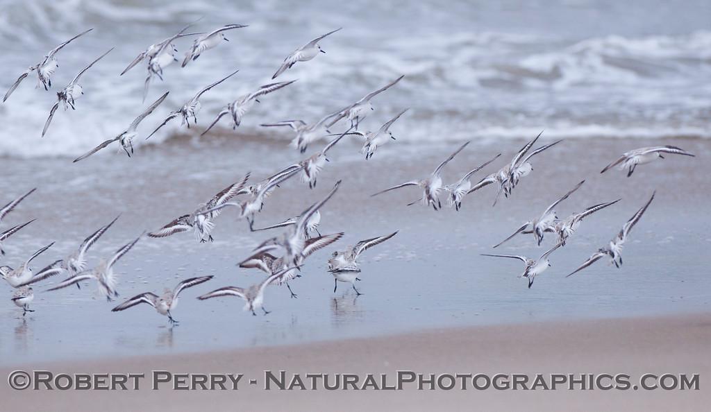 Sanderlings (<em>Calidris alba</em>) come in for a landing.