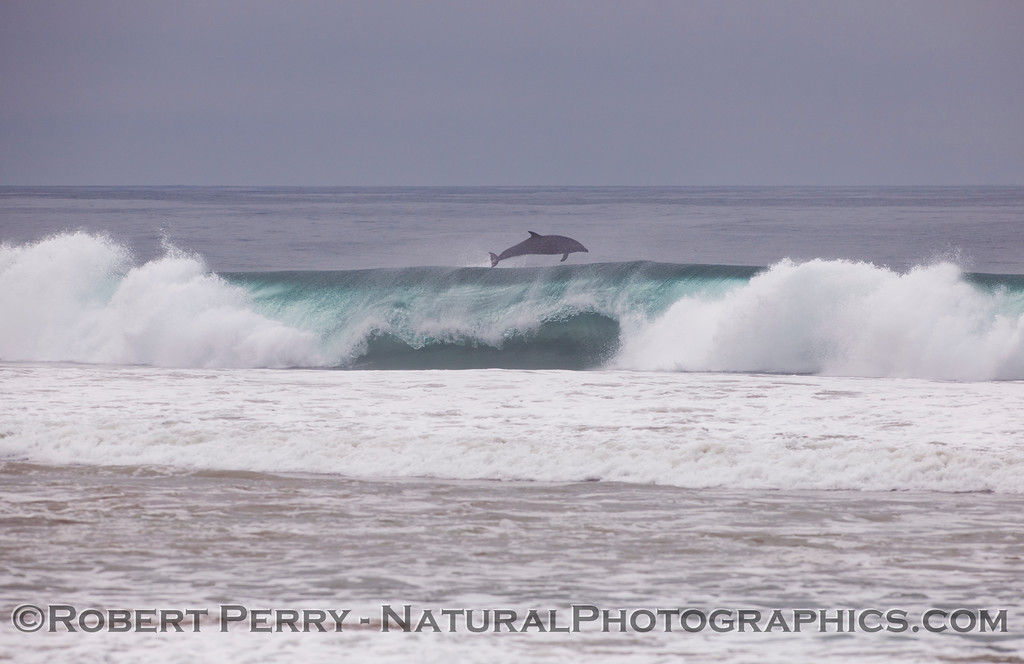 """An adult bottlenose dolphin (<em>Tursiops truncatus</em>) """"kicks out"""" the back of a nice wave it had been riding."""