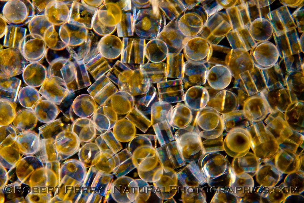 1-Coscinodiscus BLOOM 2012 03-29 Zuma-174