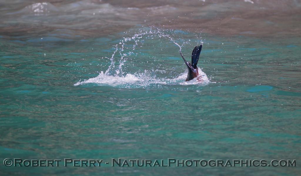 Zalophus californianus 2012 05-22 SB Anacapa-062