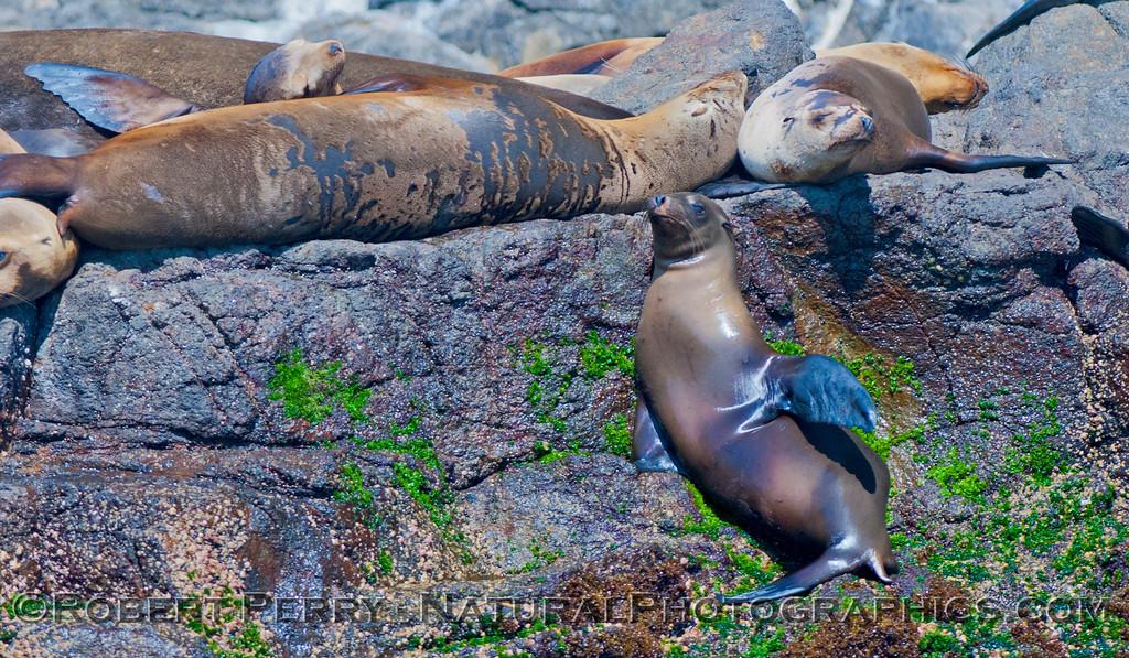Zalophus californianus 2012 05-22 SB Anacapa-048